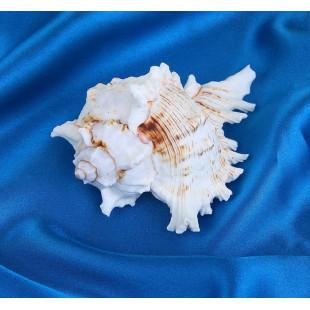 Ракушка декоративная, 8-9 см